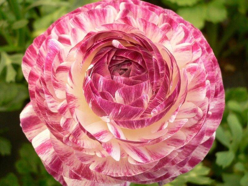 Африканская роза цветок фото 4