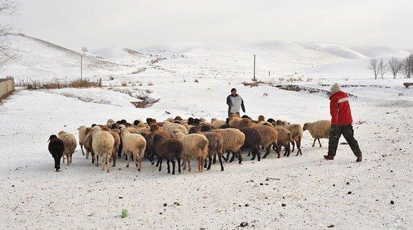 Казахстан, овцы