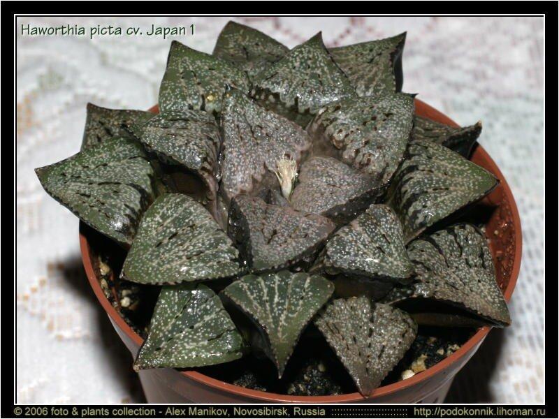 Комнатные цветущие растения фото и