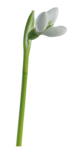 Snowdrops_Snowdrops6_Scrap and Tubes.png