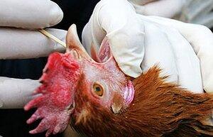 В Приморье продолжается вакцинация домашней птицы