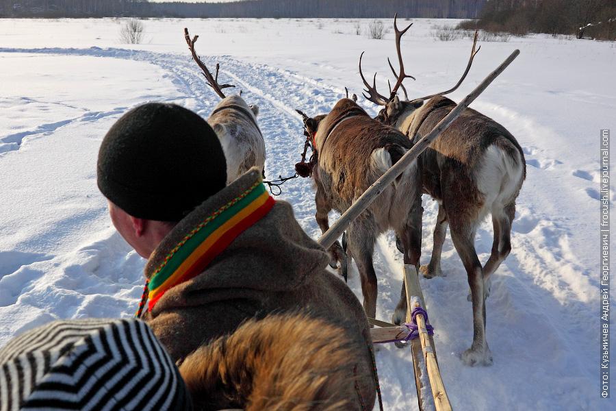 катание на северных оленях