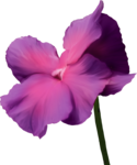 ial_sng_big_flower.png