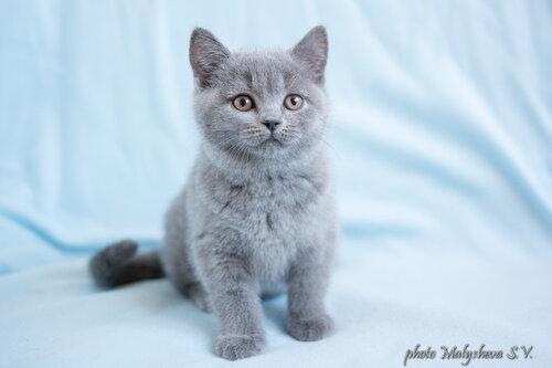 Belten`s Donitta (кошка) BRIa 2 месяца