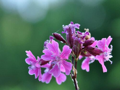 Смолка клейкая (Viscaria vulgaris) Автор фото: Владимир Брюхов