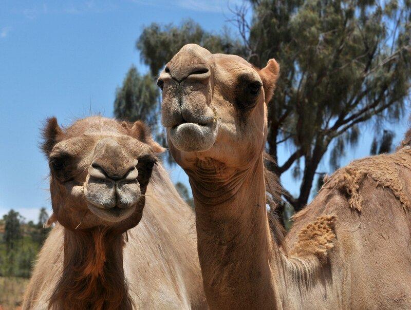 Верблюжье семейство