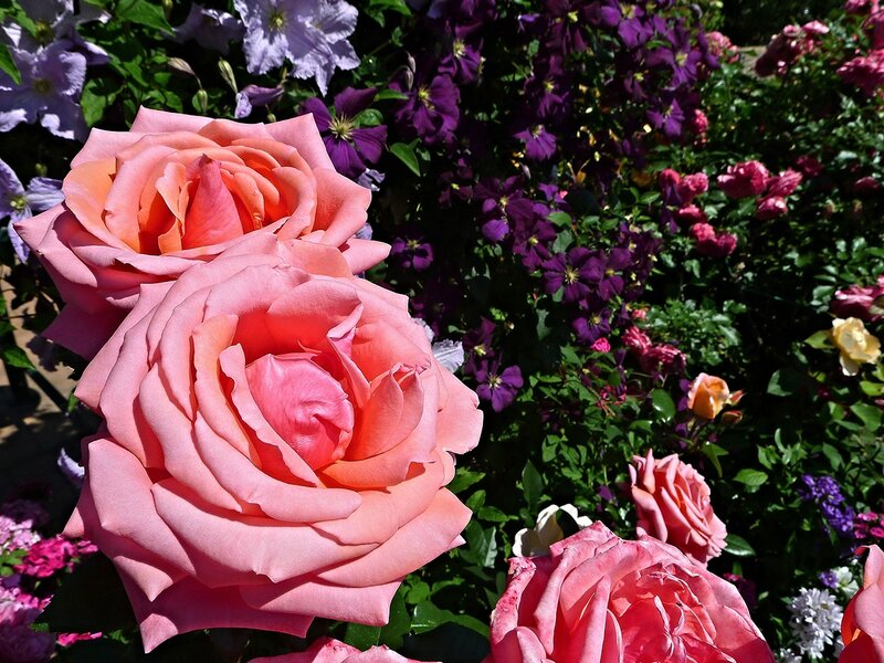 Роза Бермуда