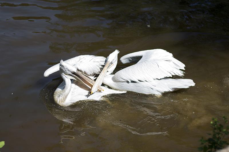 обед пеликанов2