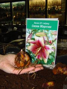 Новая коллекция лилий ОТ-гибридов в наших магазинах! Луковицы лилийных деревьев!