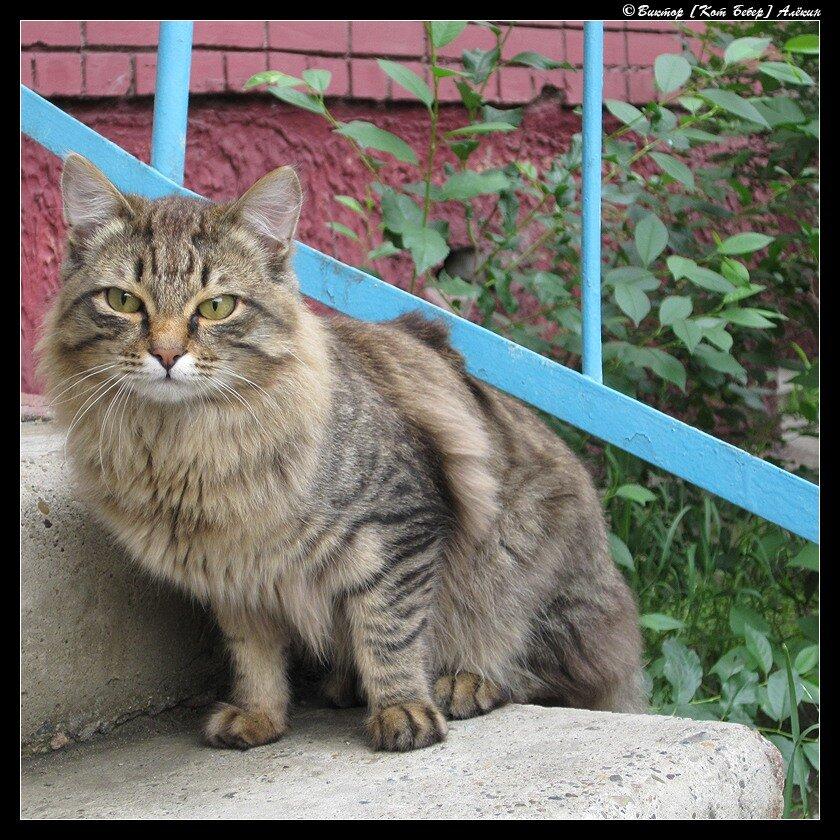 Вуалехвост, или Соседский кот2