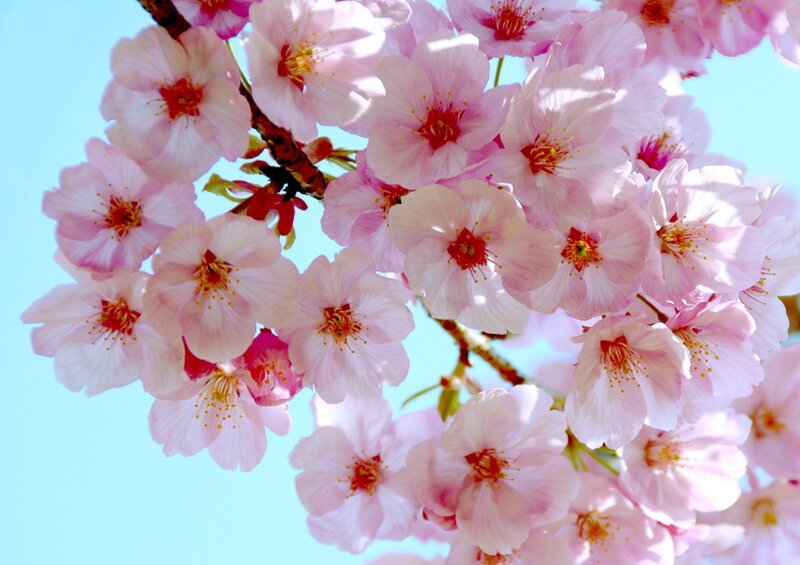 Поза цветы вишни картинка 1