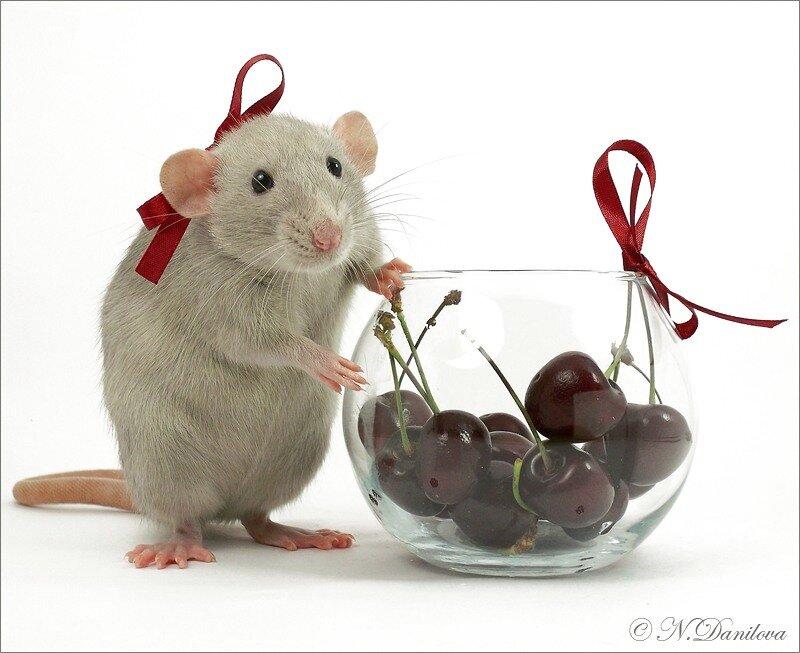 С днем рождения открытки с крысами