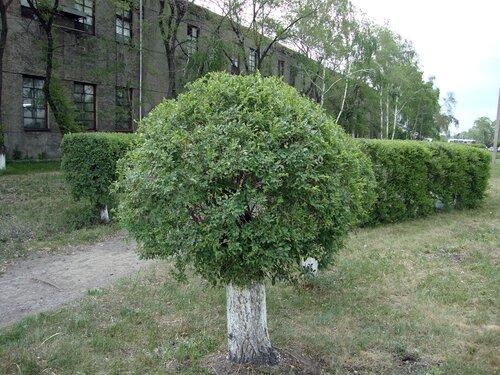 20110606 - Стрижка деревьев01