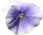 ial_sng_violet5.png