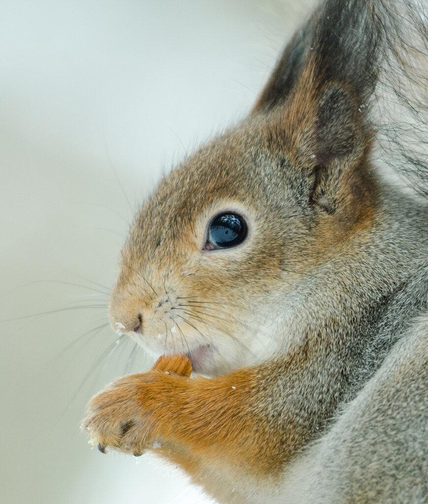 Портрет белки с орехом
