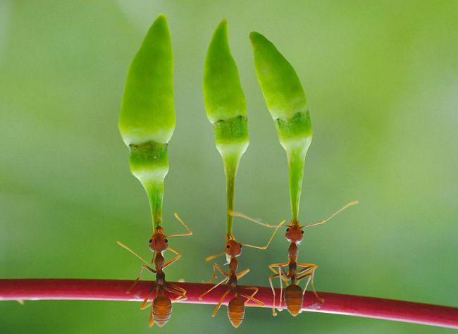 муравьи-акробаты