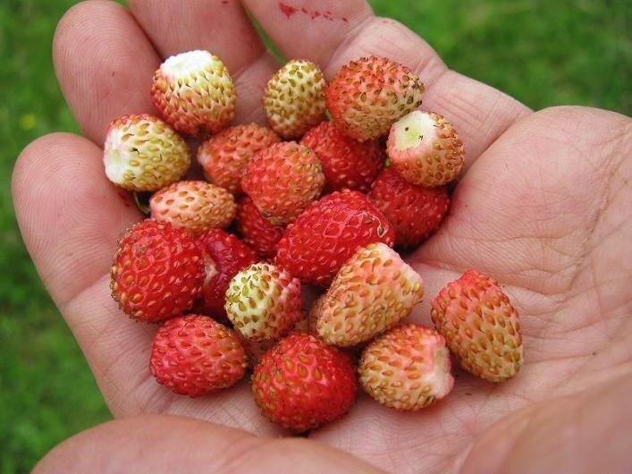 бубляника ягода фото