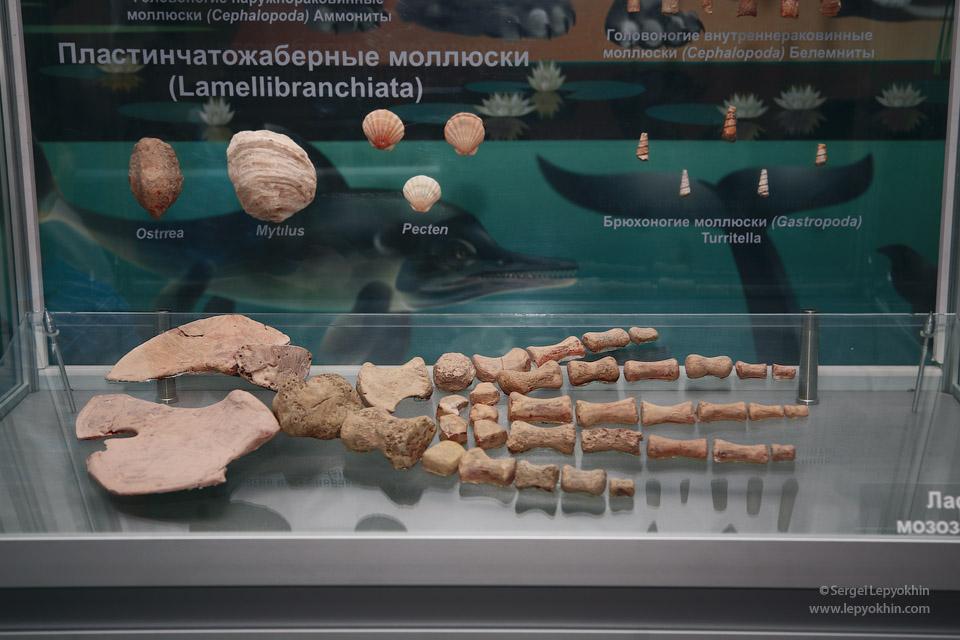 Некоторые экспонаты музея впечатляют размерами. Ласта мозозавра. Акция «Ночь в музее» в Волгоградском областном краеведческом музее.