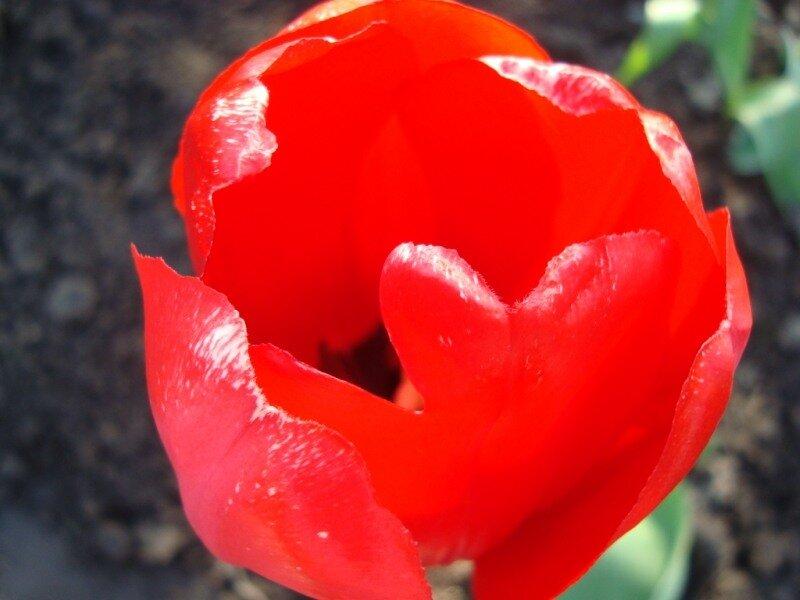"""Мои тюльпаны """" Поиск мастер классов, поделок своими руками и рукоделия на SearchMasterclass.Net"""