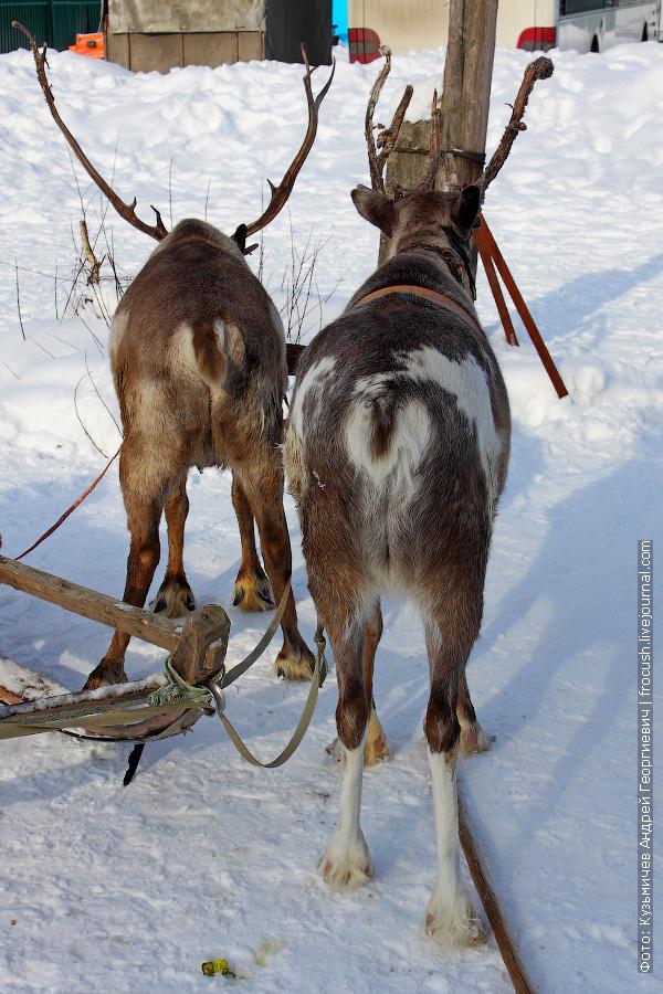 запряженные северные олени