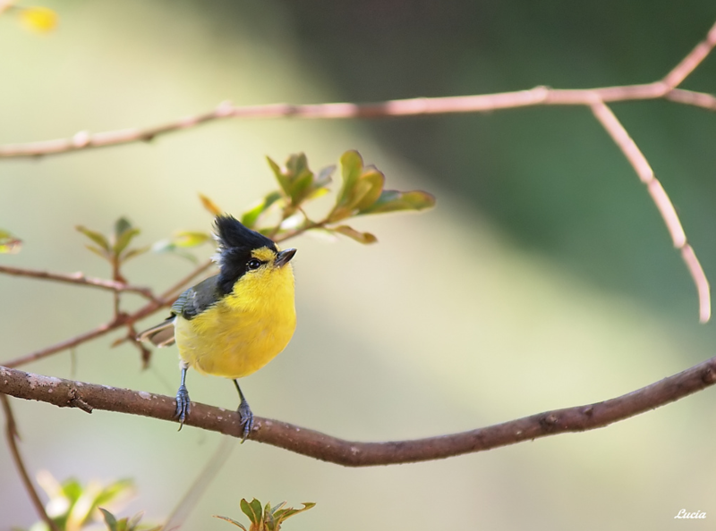 Черная птица с хохолком на Petite Anse.