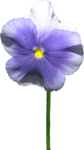 ial_sng_violet4.png