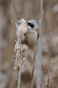 Обыкновенный ремез (Remiz pendulinus)
