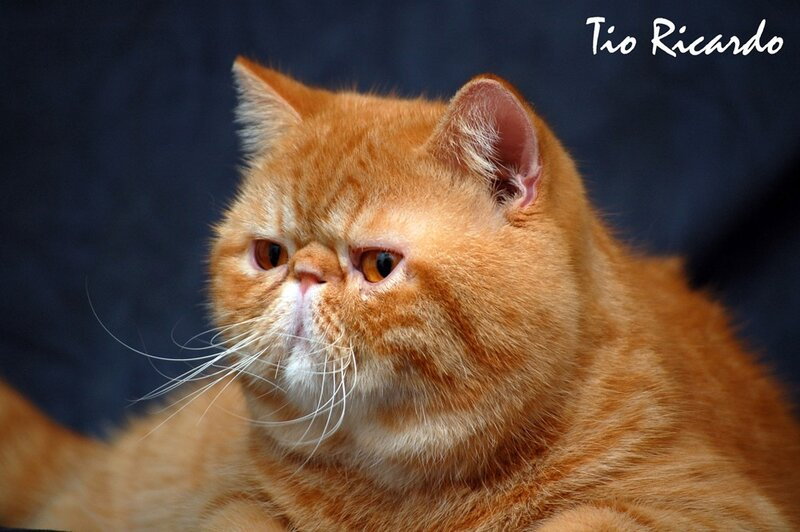 Экзотическая кошка фото видео о породе характере уходе