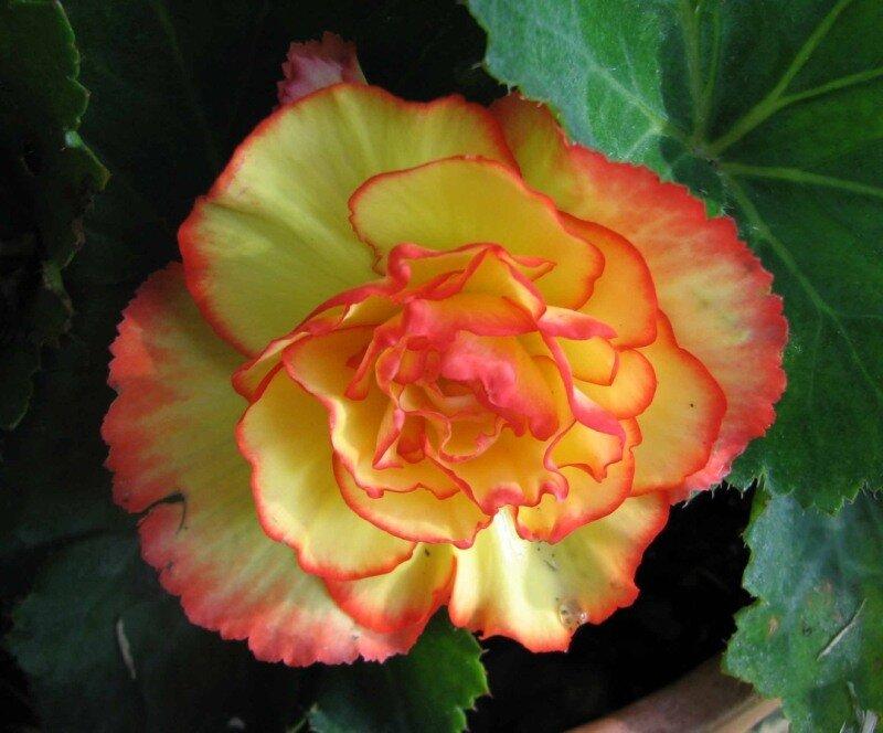 Картинки цветов бегония 4