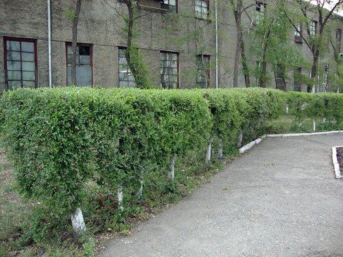 20110606 - Стрижка деревьев02