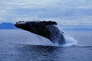 Ученые отправляются в Охотское море для подсчета серых китов