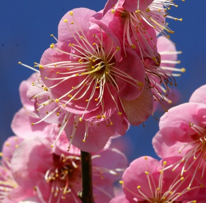 Japanese apricot/