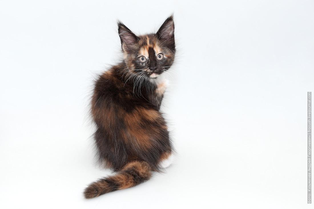 фото кошка мейн-кун питомник в Москве