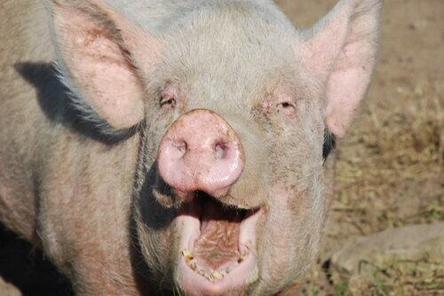 В Дондюшанах свиньи заразились африканской чумой
