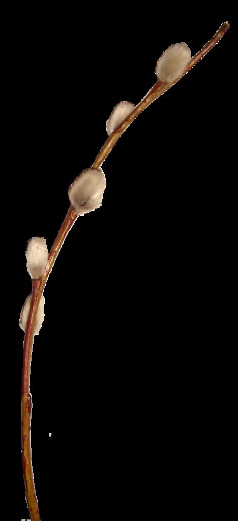 Картинка веточка вербы на прозрачном фоне