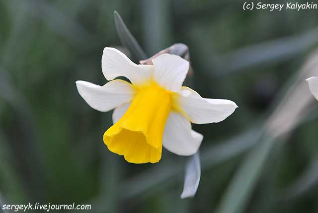 Narcissus Golden Echo.JPG