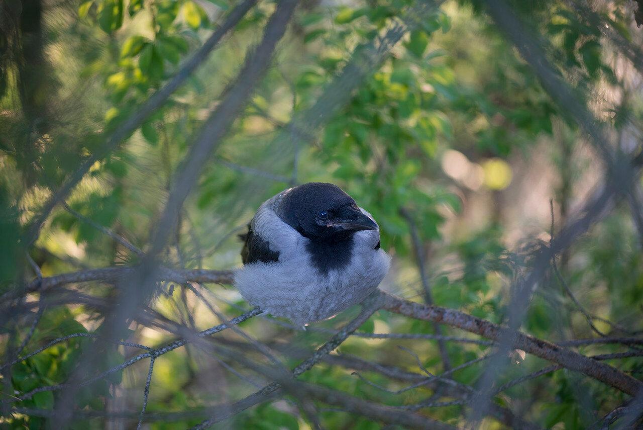 Серая ворона - Corvus cornix (Corvidae) Автор фото: Владимир Брюхов