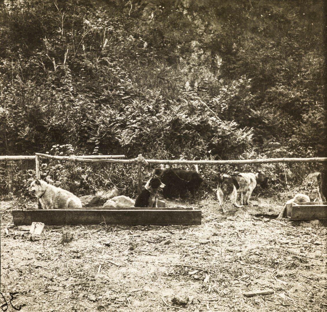 Стая собак нивхов