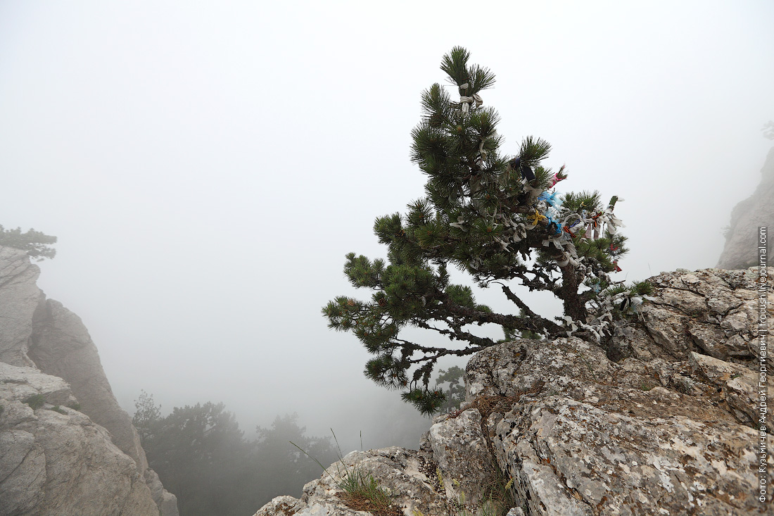 сосны на краю горы Ай-Петри
