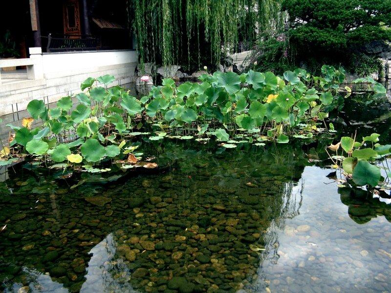 Выращивание лотосов в прудах 25