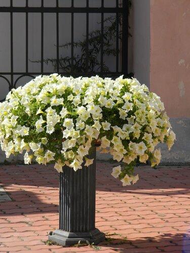 Белое облако цветов