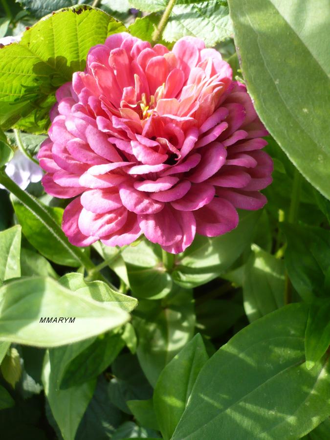 цветы-на-даче3.jpg