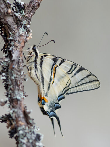 Подалирий (Iphiclides podalirius) Автор фото: Владимир Брюхов