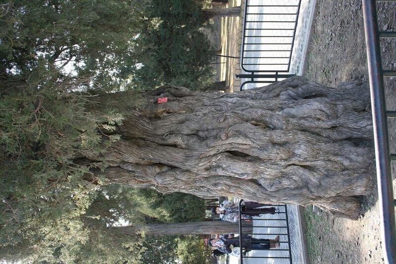 Древний Кипарис в парке Храма Неба