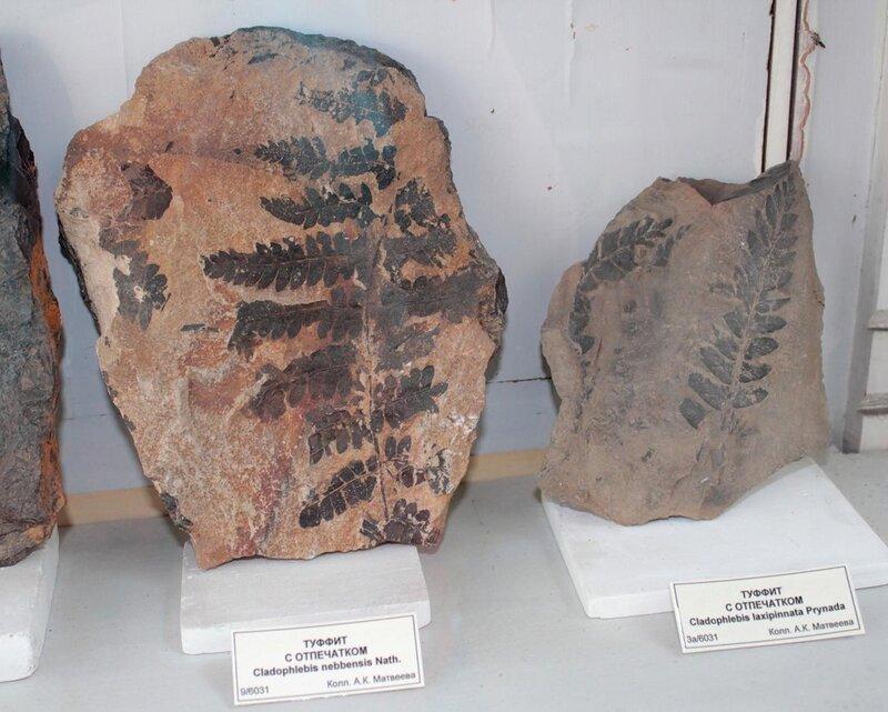 Туффит с отпечатком Cladothlebis nebbensis Nath.; туффит с отпечатком Cladophlebis laxipinnata Prynada