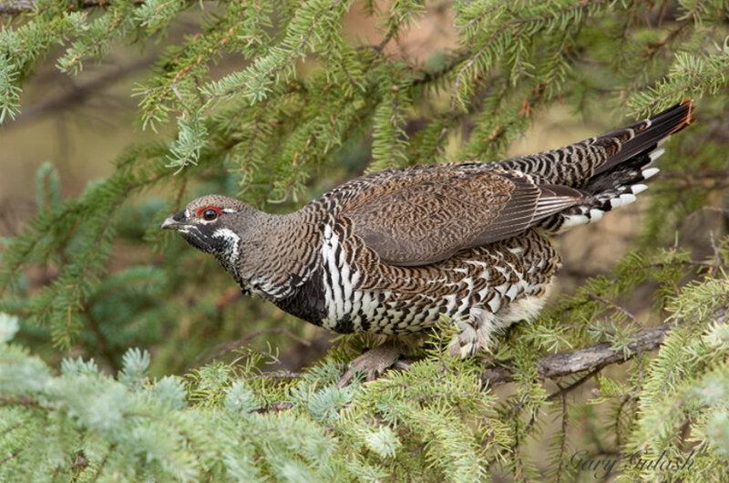 Тетерев фото птицы самка и самец