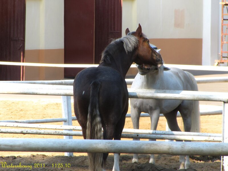 1125.10 Лошадки целуются