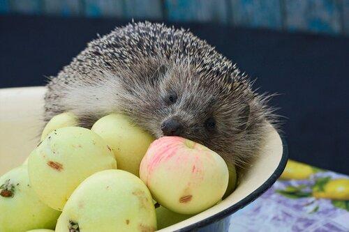 Ёжик на яблоках