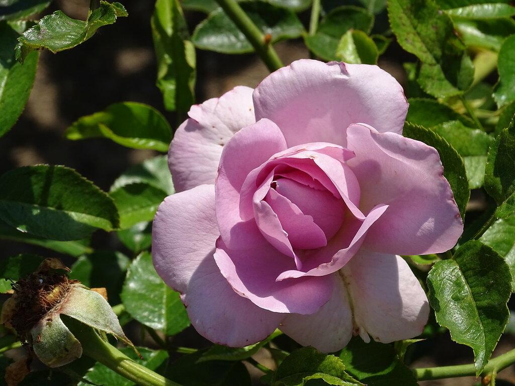 305 Розарий принцессы Грейс.JPG