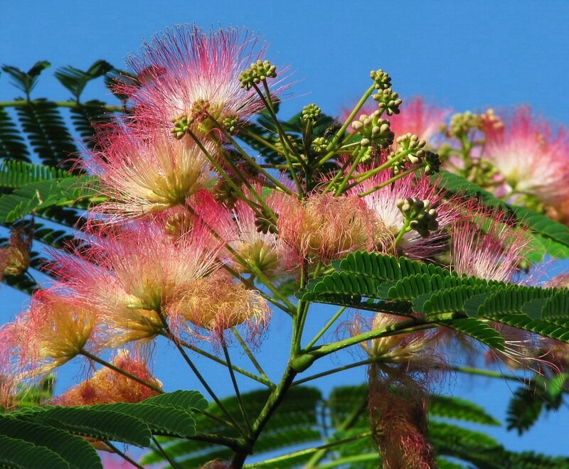дерево альбиция фото
